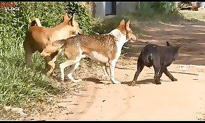 Cambodian Shepherd Vs Carolina Dog In Khnar Char Village Part 1